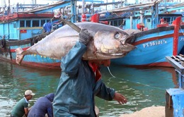 Bình Định: Xuất khẩu 120 con cá ngừ đại dương sang Nhật
