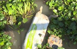 Xác lợn chết vứt đầy sông ở Cần Thơ