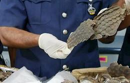 Malaysia bắt giữ lô hàng chứa 30 tấn tê tê