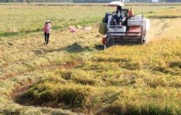 Tìm giải pháp thu mua lúa cho nông dân