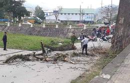 Hy hữu: Cành cây gạo rơi trúng người, nam thanh niên tử vong tại chỗ