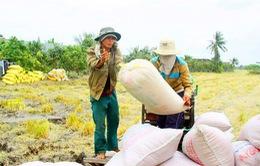 NHNN ban hành quy định về việc cho vay thu mua lúa, gạo vụ Đông Xuân