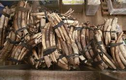 Uganda phát hiện 750 ngà voi, bắt giữ 2 người Việt