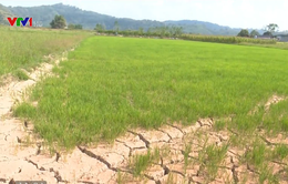 Hơn 600 ha cây trồng tại Đăk Nông có nguy cơ mất trắng