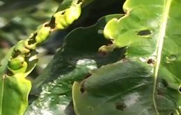 Lâm Đồng: Gần 1.600 ha cà phê bị nhiễm bọ xít muỗi