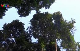 Phát hiện hàng nghìn ha dược liệu ba kích trong rừng nguyên sinh Quảng Nam
