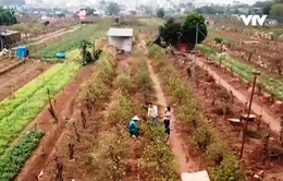Làng hoa đào Nhật Tân sau Tết
