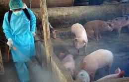 Thanh Hóa tiêu hủy 226 con lợn nhiễm dịch tả châu Phi