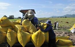 Hỗ trợ tín dụng với doanh nghiệp mua lúa gạo