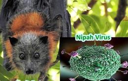 Đẩy nhanh nghiên cứu vaccine ngừa virus Nipah gây tổn thương não bộ