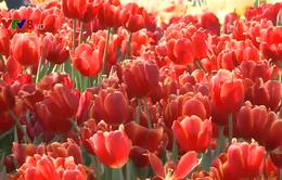 Chiêm ngưỡng vẻ đẹp của vườn hoa tulip lớn nhất Việt Nam