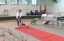 Độc đáo xiếc lợn tại Việt Nam