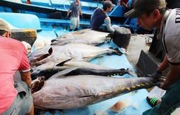 Ngư dân Nam Trung Bộ trúng lớn cá ngừ đại dương