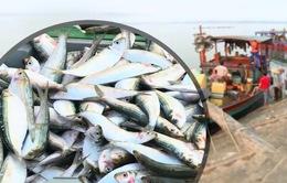 Ngư dân được mùa cá trích