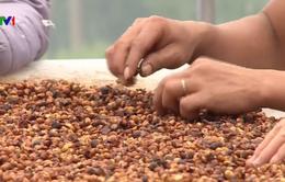 Đẩy mạnh phát triển cà phê đặc sản hữu cơ