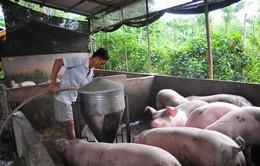Giá lợn hơi giảm mạnh sau khi dịch tả lợn châu Phi lan sang 13 tỉnh