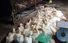 TP.HCM phát hiện 900 con vịt nhiễm virus cúm gia cầm A/H5N6