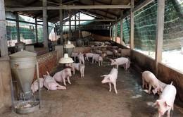 Xuất hiện dịch tả lợn châu Phi ở tỉnh Sơn La