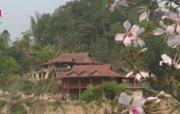 Hoa ban trong đời sống văn hóa của người dân Điện Biên