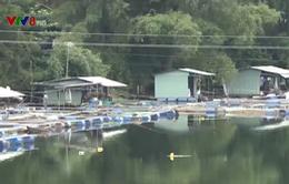 Quảng Nam: Người dân tự phát nuôi cá trong lồng bè