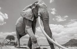 """Những hình ảnh cuối cùng về """"voi nữ hoàng"""" có đôi ngà khổng lồ ở Kenya"""