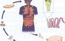 Cách phòng chống nhiễm sán lợn hiệu quả nhất