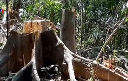 Lại xảy ra phá rừng phòng hộ Sông Tranh