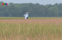 TT-Huế: Hàng trăm ha lúa Đông Xuân bị ảnh hưởng do nắng hạn