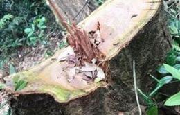 Phát hiện vụ phá rừng nghiêm trọng tại Quảng Bình