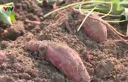 Đắk Nông: Nông dân điêu đứng vì khoai mất giá