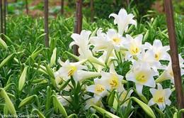 """Ghé thăm """"thủ phủ"""" hoa loa kèn tại Hà Nội"""