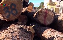 """""""Lâm tặc"""" ngang nhiên phá rừng giữa ban ngày ở Lâm Đồng"""