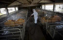 Trung Quốc kiểm soát được 90% các nơi có dịch tả lợn châu Phi