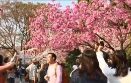 Mùa hoa anh đào nở - Cơ hội kinh doanh cho dịch vụ và du lịch Nhật Bản
