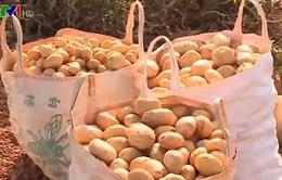 Khó nhân rộng việc gắn nhãn mác cho khoai tây Đà Lạt