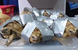 Philippines thu giữ hơn 1.500 con rùa trong hành lý ký gửi
