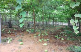 Nghệ An: Su su rớt giá còn 1.000 đồng/kg