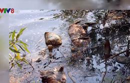 Lâm Đồng: Bùng phát dịch lở mồm long móng, lợn chết vứt đầy suối