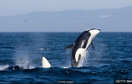 Phương pháp bảo vệ cá heo bằng sóng âm