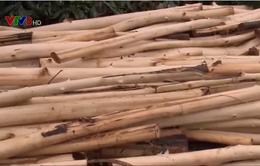 Phú Yên: Người trồng rừng ồ ạt bán keo non