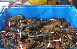 Khánh Hòa: 80% tôm hùm giống phải nhập khẩu