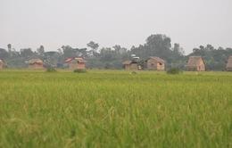 Làm du lịch từ cây lúa