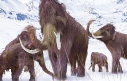 Voi ma mút lông và người Neanderthal có chung đặc điểm di truyền