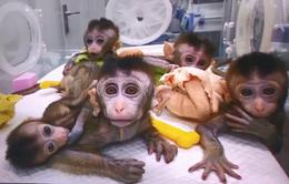 Trung Quốc tạo ra ra loài khỉ mang gen não người