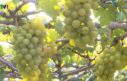 Ghé thăm vườn trồng nho Ninh Thuận