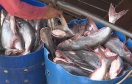 Giá cá tra nguyên liệu tăng trở lại