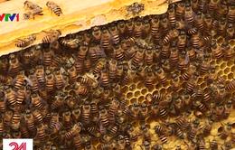 Phú Thọ: Lạ lùng xã ra yêu cầu dân di dời đàn ong vì… hại hoa màu