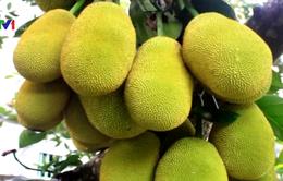 """Khuyến cáo người dân không nên đổ xô trồng mít Thái vì lãi """"khủng"""""""