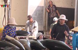 Giá cá ngừ hạ, nhiều tàu cá chỉ hòa vốn