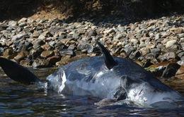 Cá voi trôi dạt vào bờ biển Ý với 22kg nhựa trong bụng